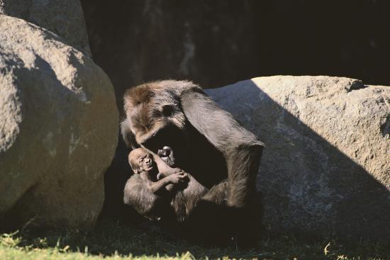 Gorilla-DLILLC-Photographic Print