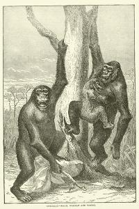 Gorillas, Male, Female and Young