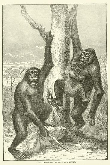Gorillas, Male, Female and Young--Giclee Print