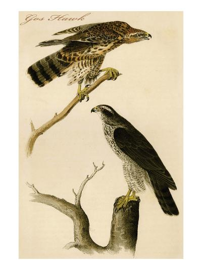 Gos Hawk-John James Audubon-Art Print