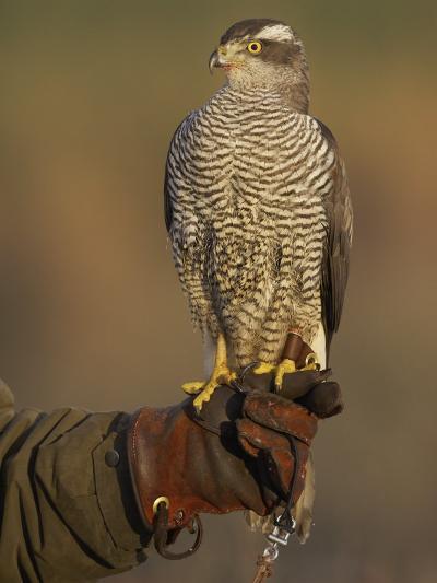 Goshawk, Adult Perched on Falconers Glove, Scotland-Mark Hamblin-Photographic Print