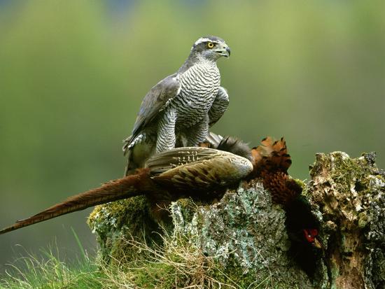 Goshawk, Feeding on Pheasant, Scotland-Mark Hamblin-Photographic Print