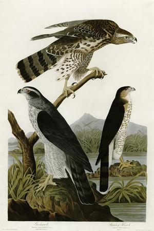Goshawk Stanley Hawk--Giclee Print