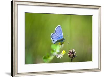 Gossamer-Winged Butterfly (Lycaenidae) in a Meadow-Brigitte Protzel-Framed Photographic Print