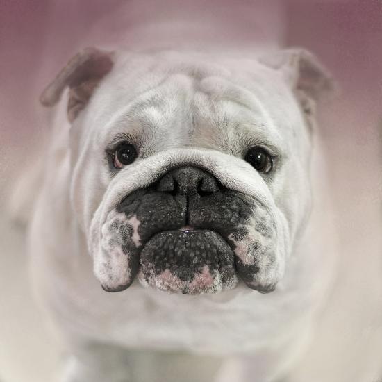 Got Treat Bulldog Puppy-Jai Johnson-Giclee Print