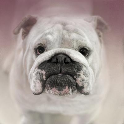 https://imgc.artprintimages.com/img/print/got-treat-bulldog-puppy_u-l-pym75n0.jpg?p=0