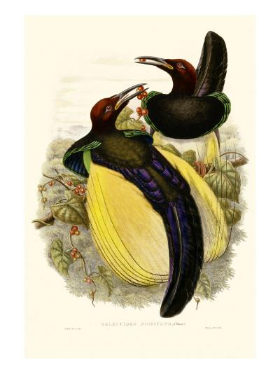 Gould Bird of Paradise IV-John Gould-Art Print