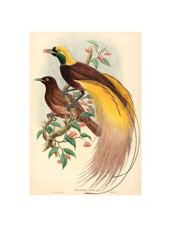 Bird of Paradise (Paradisea Apoda), Published 1875 1888, Hand Colored Lithograph