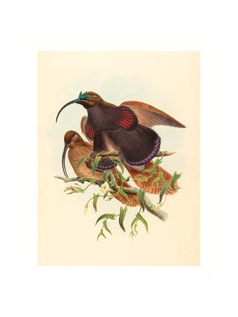 Drepanornis Albertisi (Black-Billed Sicklebill Bird of Paradise), Colored Lithograph