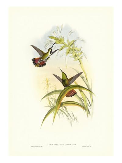 Gould Hummingbird I-John Gould-Art Print