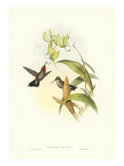 Gould Hummingbird IV-John Gould-Art Print
