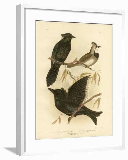 Gould Manucode or Trumpet Manucode, 1891-Gracius Broinowski-Framed Giclee Print
