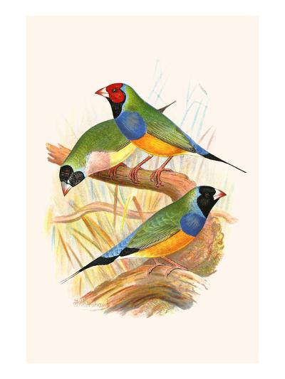 Gouldian Finch, Black Headed and Red Headed-F^w^ Frohawk-Art Print