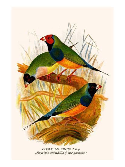 Gouldian Finch-F^w^ Frohawk-Art Print