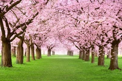 https://imgc.artprintimages.com/img/print/gourgeous-cherry-trees-in-full-blossom_u-l-pn1ubc0.jpg?p=0