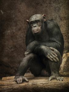 Chimpanzee by Grab My Art