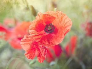 Poppy Flower Meadow by Grab My Art