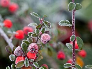 Winter Berries by Grab My Art
