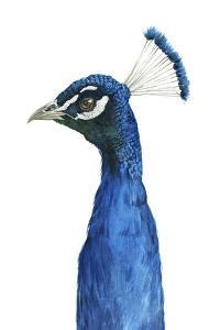 Peacock Portrait II by Grace Popp