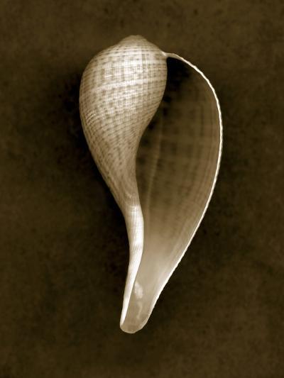 Graceful Fig Shell 2-John Kuss-Photographic Print