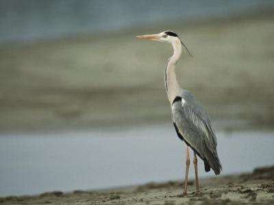 Graceful Gray Heron Standing near the Waters Edge