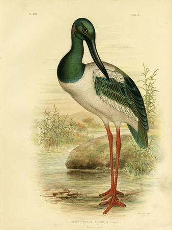 Australian Jabiru or Black-Necked Stork, 1891