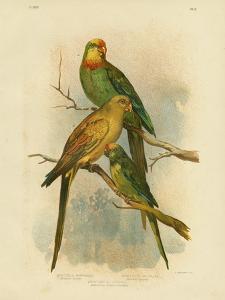 Barraband's Parakeet, 1891 by Gracius Broinowski