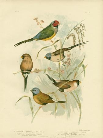 Beautiful Grass-Finch, 1891