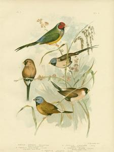 Beautiful Grass-Finch, 1891 by Gracius Broinowski