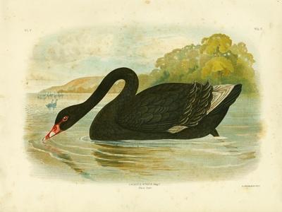 Black Swan, 1891
