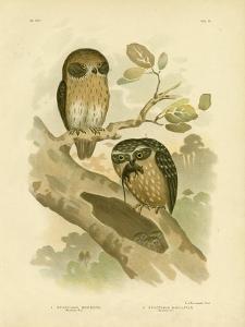 Boobook Owl, 1891 by Gracius Broinowski