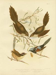Bristle Bird, 1891 by Gracius Broinowski