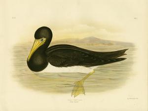 Brown Gannet, 1891 by Gracius Broinowski