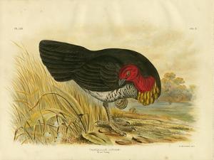 Brush Turkey, 1891 by Gracius Broinowski