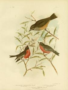 Buff-Sided Robin, 1891 by Gracius Broinowski