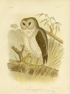 Delicate Owl, 1891 by Gracius Broinowski