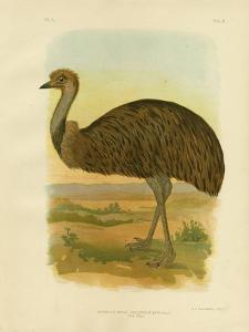 Emu, 1891 by Gracius Broinowski