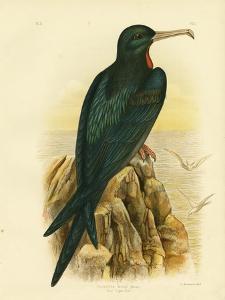 Frigate Bird, 1891 by Gracius Broinowski