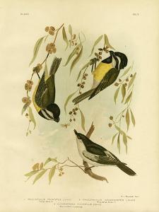 Frontal Shrike-Tit or Crested Shrike-Tit, 1891 by Gracius Broinowski