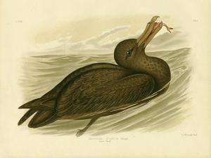 Giant Petrel, 1891 by Gracius Broinowski