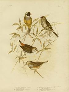 Golden Grass Finch, 1891 by Gracius Broinowski