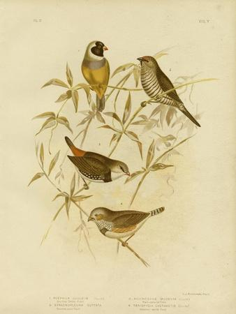 Golden Grass Finch, 1891