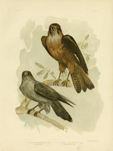 Grey Falcon, 1891 by Gracius Broinowski