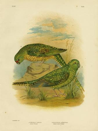 Ground Parakeet, 1891