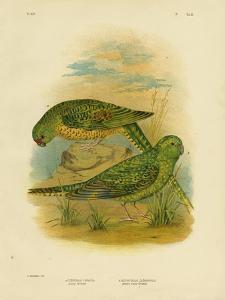 Ground Parakeet, 1891 by Gracius Broinowski