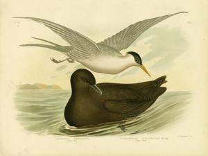 Indian Tern, 1891 by Gracius Broinowski