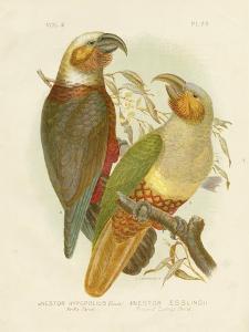 Kaka Parrot, 1891 by Gracius Broinowski