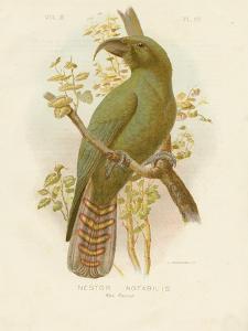 Kea, 1891 by Gracius Broinowski