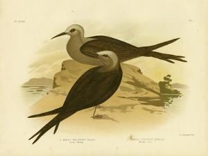 Lesser Noddy, 1891 by Gracius Broinowski