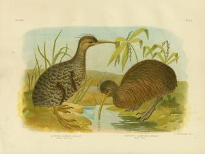 Little Spotted Kiwi, 1891 by Gracius Broinowski